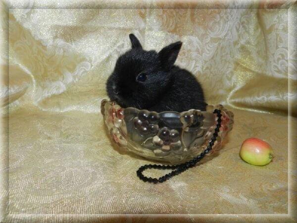Порода: Чистопородный Нидерландский карликовый кроли Окрас: черный, глаза карие. Описание: Самая маленькая и редкая порода кроликов! Пол и дата рождения: девочка, 23.02.21г.р. Когда можно забрать кролика: декоративный кролик на продажу готов, ужепривит,проглистогонен и приучен к поилке.